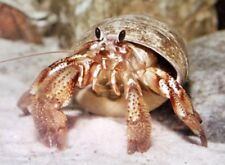 Algae Eating Hermit Crab (x10) Marine World Aquatics