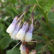 Symphytum Hidcote Blue   bareroot plant Comfrey