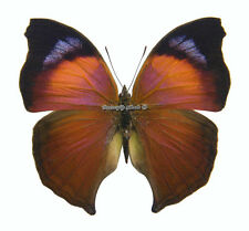 Unmounted Butterfly/Nymphalidae -  Salamis anteva, male, Madagascar