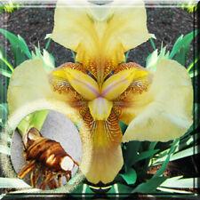 3 Iris Bulbs - Tall Yellow Bearded Iris 2� - 3� Rhizomes Perennials Plant Bulb