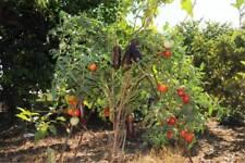 150 SEMI DI Solanum torvum o albero delle melanzane  SPEDIZIONE GRATUITA