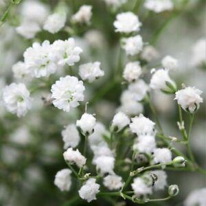 100Pcs Gypsophila Seeds Plants Flowers Paniculata Baby's Breath Kachim Repens