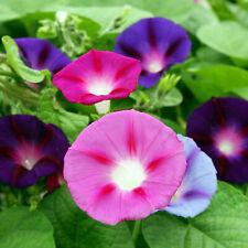 100 pcs MORNING GLORY MIX IPOMOEA QUAMOCLIT CLIMBING FLOWER
