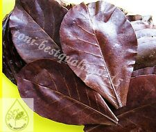 "20 pcs 7""- 8"" Catappa Ketapang Indian Almond Leaves Shrimp Betta Discus Cichlid"