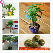 1 Pachira aquatica Macrocarpa Money Tree Seeds Mini Bonsai Potted Indoor Plants