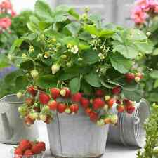 10 X STRAWBERRY SWEETHEART BAREROOT FRUIT GARDEN PLANTS POTTING GRADE