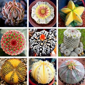 Mix Lithops Stones Succulent Cactus 200 PCS Seeds Rare Organic Bonsai Plants New