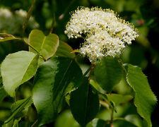 nannyberry Flowering Tree edible fruit, 15 seeds! groco