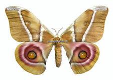 Unmounted Butterfly/Saturniidae - Antherina suraka, FEMALE, Madagascar, 55-59mm