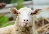Adorable Funny Sheep Poster Print Size A4 / A3 Farm Animals Poster Gift #8553