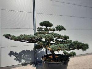 Garten Bonsai Mädchenkiefer - Pinus paviflora , Bonsai, Niwaki, Japan Import
