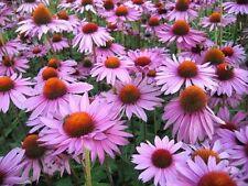 "Organic Flower seeds ""Echinacea purpurea"" (Rudbeckia purpurea) 70 seeds."