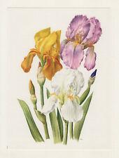 """Schwertlilie Iris Hybriden """"Rocket"""" Offset-Lithografie 1965 Anne Marie Trechslin"""