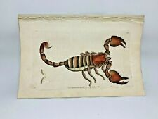African Scorpion - 1783 RARE SHAW & NODDER Hand Colored Copper Engraving