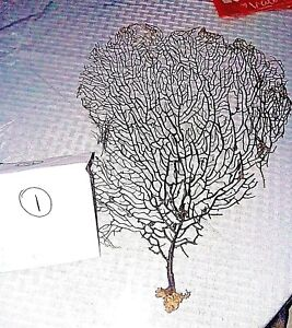 NATURAL REAL SEA FANS,  assorted sizes