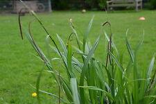1 Weeping Sedge Carex Pendula Hardy Perennial Plants root