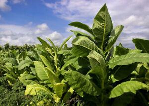 Seeds Tobacco Smoking Burley Giant Big Leaf Cigar Organic Heirloom