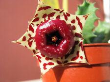1 TALEA Huernia plowesii ORCHIDEA ROSA DEL DESERTO rare no stapelia orbea