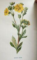 ANTIQUE PRINT C1900 GARDEN AVENS GARDEN FLOWERS BOTANY BOTANICAL FLOWER ART