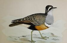 +c1875 ANTIQUE PRINT ~ DOTTEREL HAND COLOURED British Birds Morris
