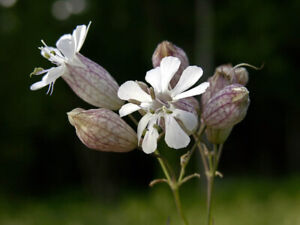 Bladder Campion - Silene vulgaris - 750 Seeds - Wildflower
