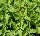 Lemon Balm Culinary Herb Seeds bin314