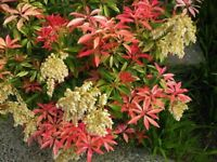 Mountain Fire Pieris Japonica - Live Plant - Quart Pot