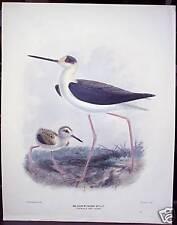 """J. G. Keulemans: """"Blackwinged Stilt"""" ca. 1880"""
