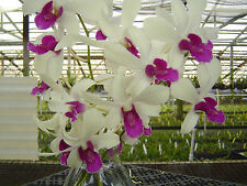 8 Blooming Size Dendrobium Plants in 3 1/4 inch pots (No Spikes)