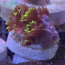 New listing Flame Tip Rainbow Gonipora Live Coral. Wysiwyg