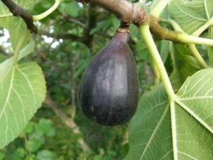 """FIGUIER Ficus """"Noire de Caromb"""", Plant de 40cm!"""