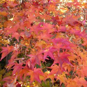 Acer palmatum-Japanese Maple Plant in 9 cm pot