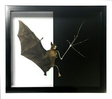 HUGE Half Taxidermy/Skeleton Bat Framed - REAL, Curiosities, Oddity, Gothic