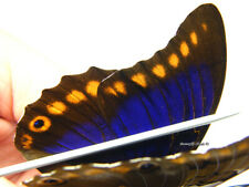 Unmounted Butterfly/Nymphalidae - Prepona brooksiana brooksiana, RARE, male 3