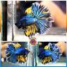 Live Betta Fish Male Fancy Yellow Metallic Ocean Blue Dragon Rosetail Halfmoon