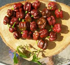HABANERO CHOCOLATE, 25 semi peperoncino + OMAGGIO