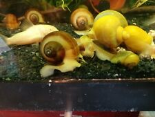 10 Mystery Snails - Jade, Gold, Chestnut, Purple, Wild Type (brown)