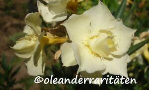 OLEANDER PFLANZEN diverse Sorten/Farben gelb, rot, weiss, rosa 50-70cm TOP-WARE