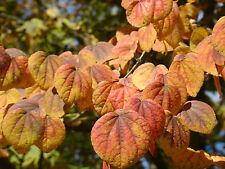 KATSURA árbol Cercidiphyllum japonicum árbol,Colores De Otoño,Caramel Aroma,