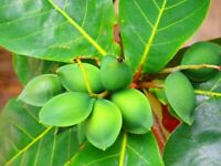 Almond Tropical  Live Tree fruit Terminalia Catappa rare exotic
