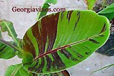 BANANA - Musa sikkimensis Red Flash 8 seeds