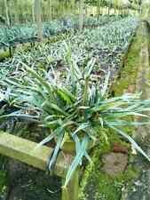 Microsorum thailandicum 500 SPORE Blue oil Fern Plant tropical THAILAND
