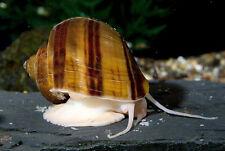 Albino Mystery snail Pomacea Bridgesii