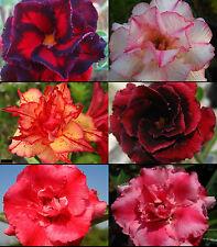 "NEW!! Adenium Obesum Desert Rose ""Mixed"" 6 Plants 6 Types!!!"