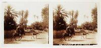 Algeria Algeri Sidi Yahia Palm Grove Placca Da Lente Stereo Positive