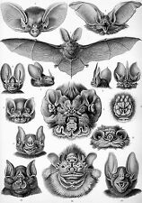 Ernst Haeckel Chiroptera Bat Biology Science Painting Real Canvas Art Print