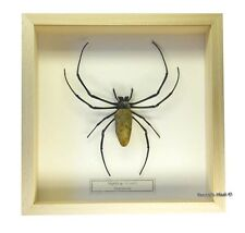 REAL MOUNTED FRAMED INSECT - Nephila sp. - THE GOLDEN SILK ORB WEAVER