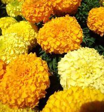 African Marigold Crackerjack mix 250 seeds Tagetes erecta *Garden Border* CombSH