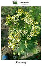 Mexican Marigold - Tagetes minuta - 150 Seeds