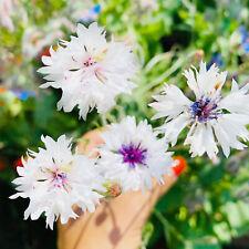 ??NEU KORNBLUME Weiss 100+ Samen  Samen Blumensamen Garten Blumen EßBARE BLÜTEN